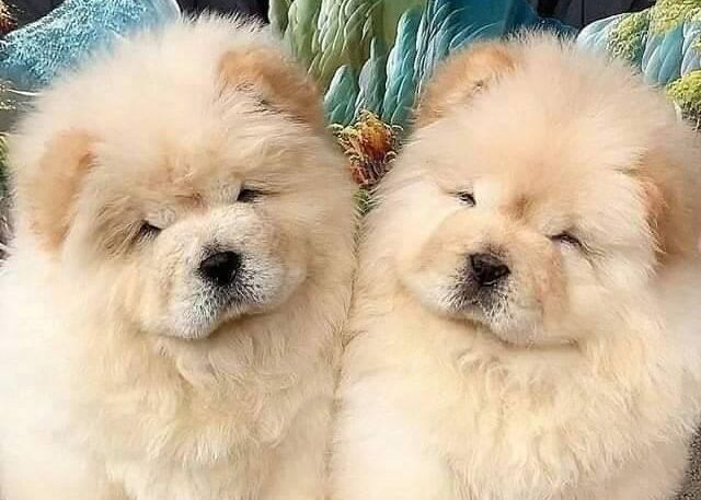 Mini chow chow pair
