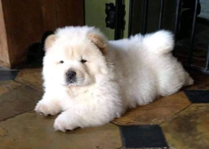 mini chow chow white