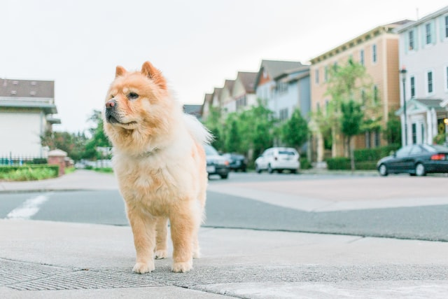 Pros and Cons of chow chow dogs