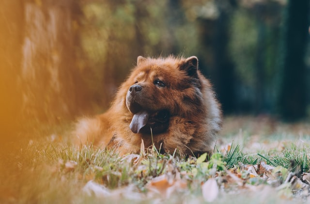 chow chow good and bad