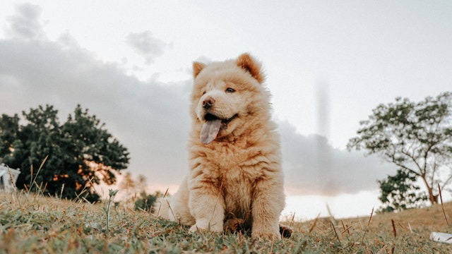why are chow chows banned