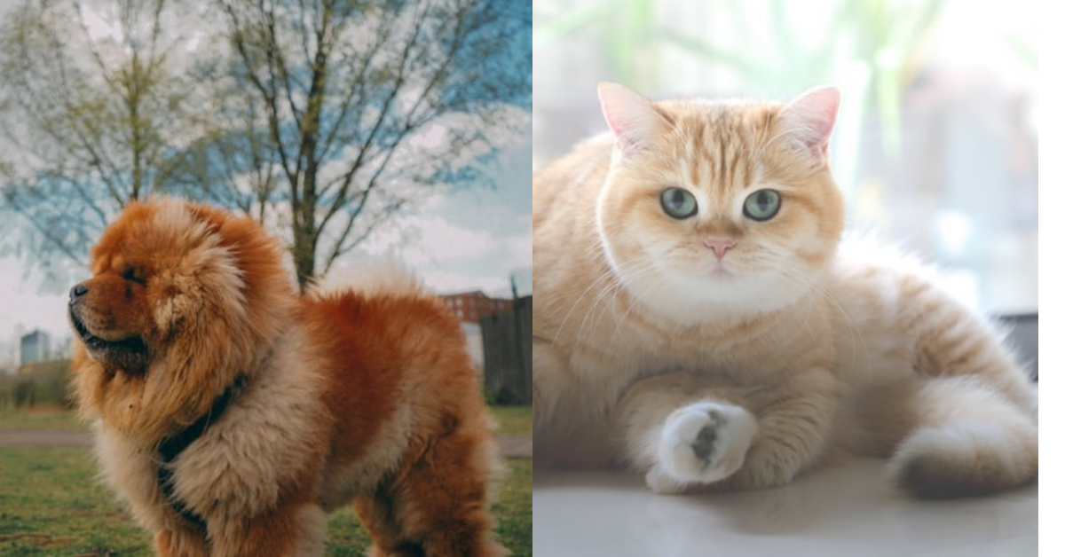 chow chow and cats